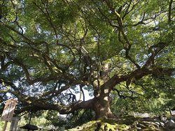 Canapor tree